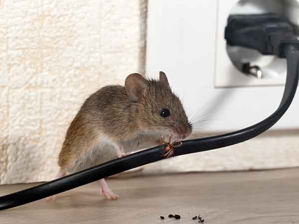 Mouse gnawing on a cable